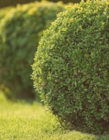 Arbustos - Flor da Suissa