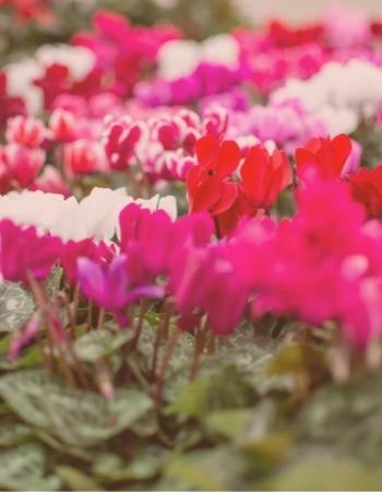 Chácara Flor da Suissa - Flores em Vaso