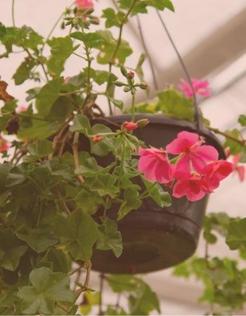 Chácara Flor da Suissa - Flores Pendentes