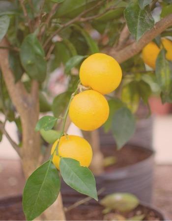 Chácara Flor da Suissa - Frutíferas